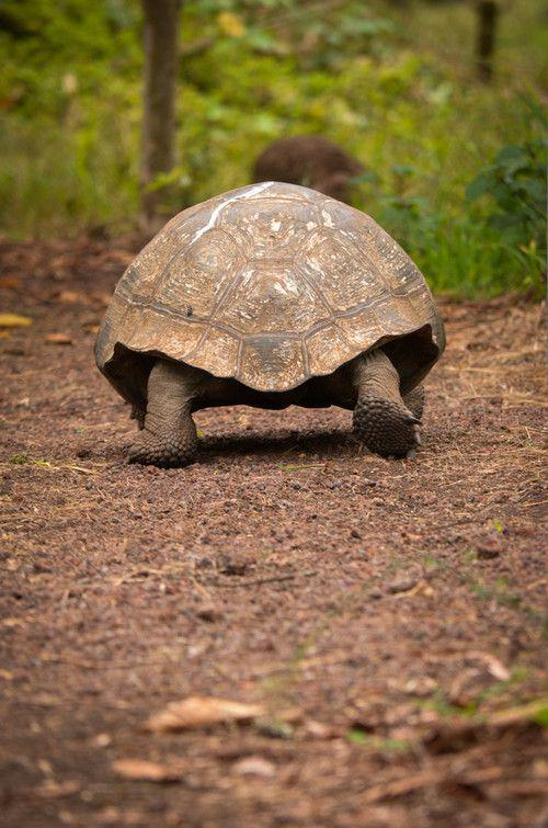 Turtle; Pet; Animal; Turtle; Tortoise Photography;Tortoise;Tortoise Care;Tortoise Habitat;Tortoise Enclosure;Tortoise Diet;Tortoise Pet;Sulcata Tortoise