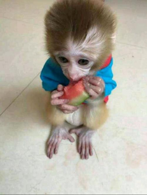 SMART MONKEYS NEED TO BE CARED FOR AS HUMAN PETS; Pet; Animal; Monkey; Pet Monkey; Family Member; Orangutan;Natural; Artificial Feeding; Monkey Baby; Cute Monkey; Clever Monkey; Monkey Picture