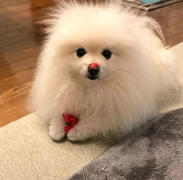 A cute pomeranian with a special hairstyle! - kkcamille